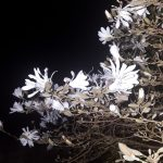 Magnolia at night sping time
