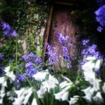 Spring bluebells and snowdrops