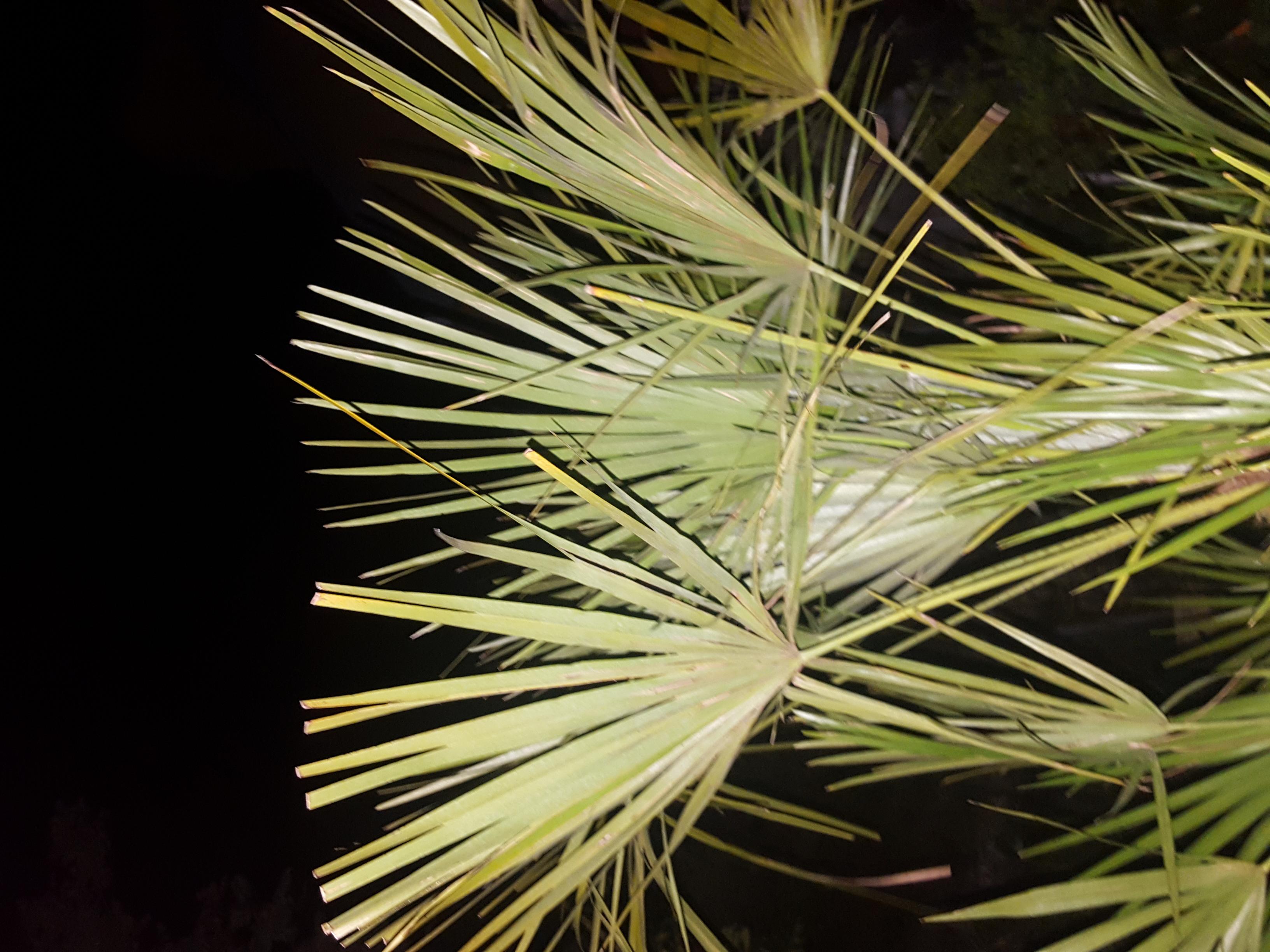 Palmtree at night