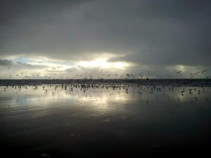 Gulls at Amroth